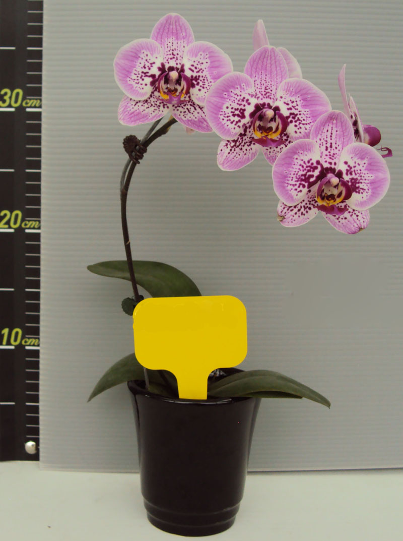Phal Ox Happy Girl Pink Panther Welcome To Orchid Cultivators