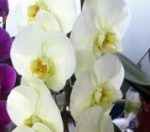 phal hinamtsuri rainbow star welcome to orchid cultivators
